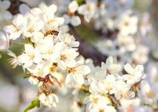 Flores del vuelo de la abeja de Cherry Blossom Honey de la primavera Fotografía de archivo