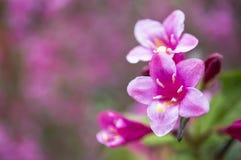 Flores del weigela rosado Foto de archivo