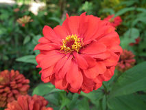 Flores del Zinnia Imágenes de archivo libres de regalías