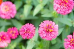 Flores del Zinnia en campo verde claro tailandia Fotografía de archivo