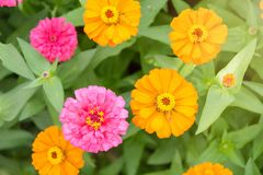 Flores del Zinnia en campo verde claro tailandia Foto de archivo