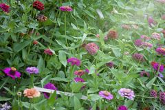 Flores del Zinnia en jardín fotos de archivo