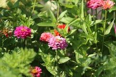 Flores del Zinnia en jardín Imagen de archivo libre de regalías