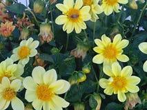 Flores delicadamente amarelas do Zinnia no canteiro de flores Fotos de Stock Royalty Free