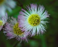 Flores delicadas Foto de Stock Royalty Free