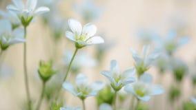 Flores delicadas da mola da saxífraga Foco seletivo video estoque