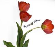 Flores delicadas da mola - tulipas vermelhas Imagens de Stock Royalty Free