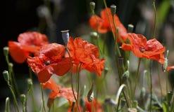 Flores delicadas da papoila imagem de stock
