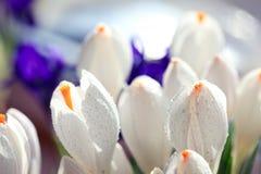 Flores delicadas das pétalas brancas Imagem de Stock