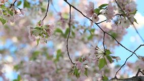Flores delicadas de la flor de cerezo almacen de metraje de vídeo