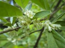 Flores delicadas del foco macro suave pequeñas del umbellata del Elaeagnus Milagro de la primavera de esta planta floreciente Foc imágenes de archivo libres de regalías