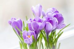 flores delicadas do açafrão como um presente para a mamã foto de stock
