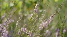 Flores delicadas do Calluna que florescem no close up de florescência da urze da floresta do verão video estoque