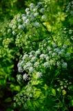 Flores delicadas pequenas Foto de Stock