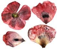 Flores delicadas secas, presionadas de la perspectiva de la amapola e ISO de los pétalos Foto de archivo libre de regalías