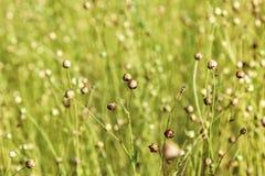 Flores desvanecidas do linho Imagem de Stock