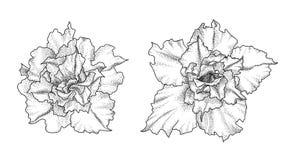 Flores dibujadas mano del adenium Imagen de archivo