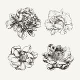 Flores dibujadas tinta de la peonía Fotos de archivo libres de regalías