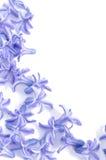 Flores dispersadas do hyacinth Fotografia de Stock
