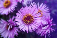 Flores do áster imagens de stock royalty free