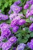Flores do áster - Callistephus Chinensis imagens de stock royalty free