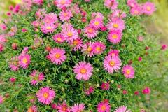 Flores do áster de New York imagem de stock royalty free