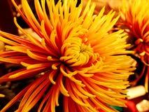Flores do áster na tabela Fotos de Stock