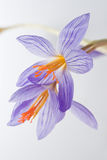 Flores do açafrão Imagem de Stock
