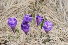 Flores do açafrão - 2 Fotos de Stock Royalty Free