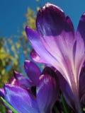 Flores do açafrão Imagens de Stock Royalty Free