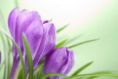 Flores do açafrão Foto de Stock