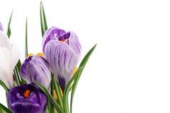 Flores do açafrão Fotos de Stock Royalty Free