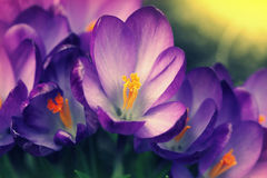 Flores do açafrão (açafrão Vernus) Imagem de Stock Royalty Free