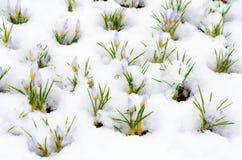 Flores do açafrão cobertas com a neve Imagens de Stock Royalty Free