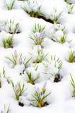 Flores do açafrão cobertas com a neve Imagens de Stock