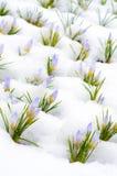 Flores do açafrão cobertas com a neve na mola Fotos de Stock