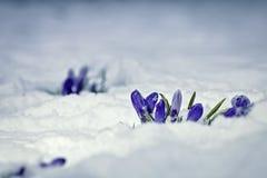 Flores do açafrão cobertas na neve Fotos de Stock Royalty Free