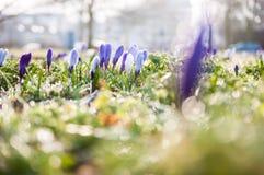 Flores do açafrão com gotas de orvalho Fotos de Stock