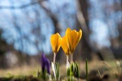 Flores do açafrão da flor Imagens de Stock