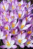 Flores do açafrão da floresta Fotografia de Stock