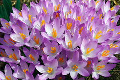 Flores do açafrão da floresta Imagem de Stock Royalty Free