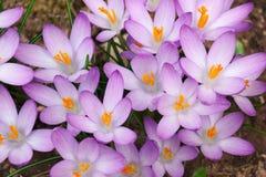 Flores do açafrão da floresta Foto de Stock
