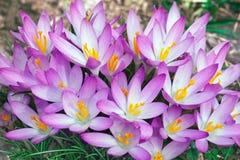 Flores do açafrão da floresta Fotografia de Stock Royalty Free