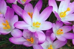 Flores do açafrão da floresta Imagens de Stock Royalty Free