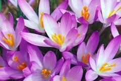 Flores do açafrão da floresta Foto de Stock Royalty Free