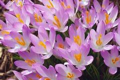 Flores do açafrão da floresta Imagens de Stock