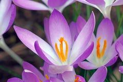Flores do açafrão da floresta Fotos de Stock Royalty Free