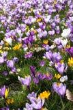 Flores do açafrão da mola Imagens de Stock