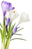 Flores do açafrão da mola Fotos de Stock Royalty Free