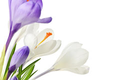 Flores do açafrão da mola Fotografia de Stock